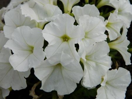 flori-447